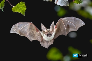 Flying Grey long eared bat in forest